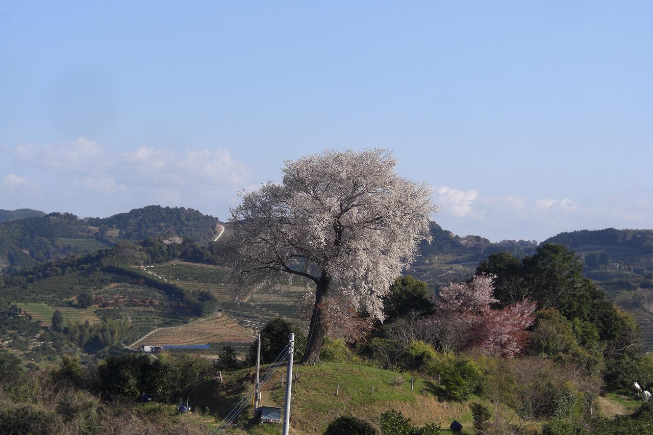 平家ー本桜